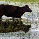Vaca campo inundado